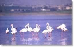 Flamingo's in de moerassen.  De flamingo's op de zoutvlakten bij Santa Pola zijn vanaf de kustweg N332 bij  vliegveld. Aan die weg, dichtbij Villamartin, vindt u ook de stranden van Punta Prima, Playa Flamenca, La Zenia, Cabo Roig, Aguamarina, LA Mata, Campoamor en Mille Palmeras.