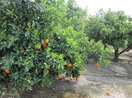 Al in maart overal bloeiende citrusstruiken.
