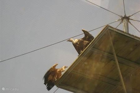 On Cres: vulture sanctuary