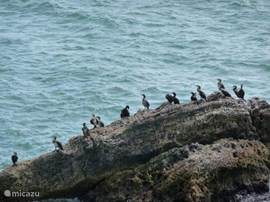 ... cormorants ....